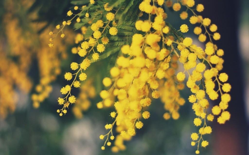 Mimose